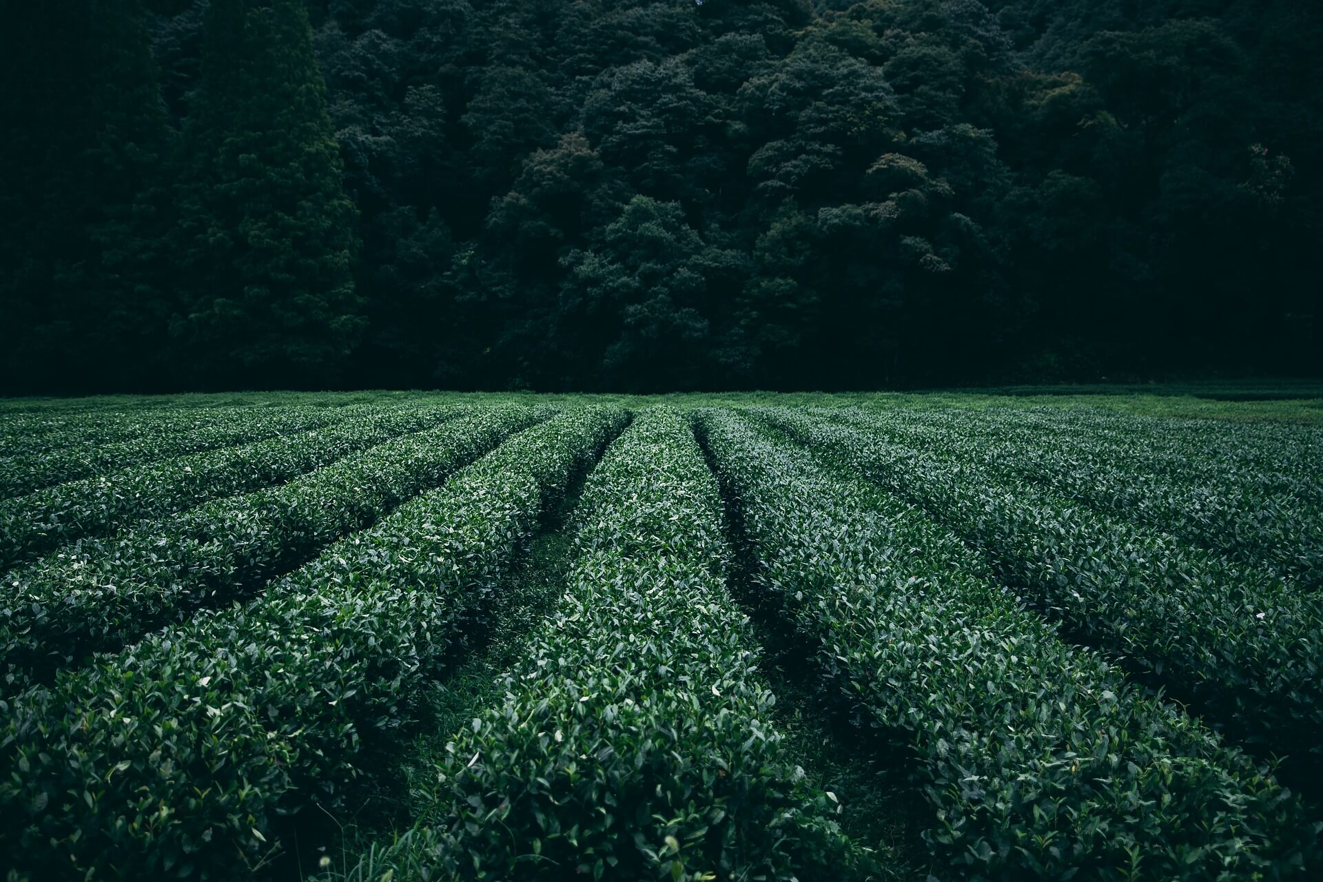 An eye-catching green field ready for harvest in front of a dark, deep jungle.
